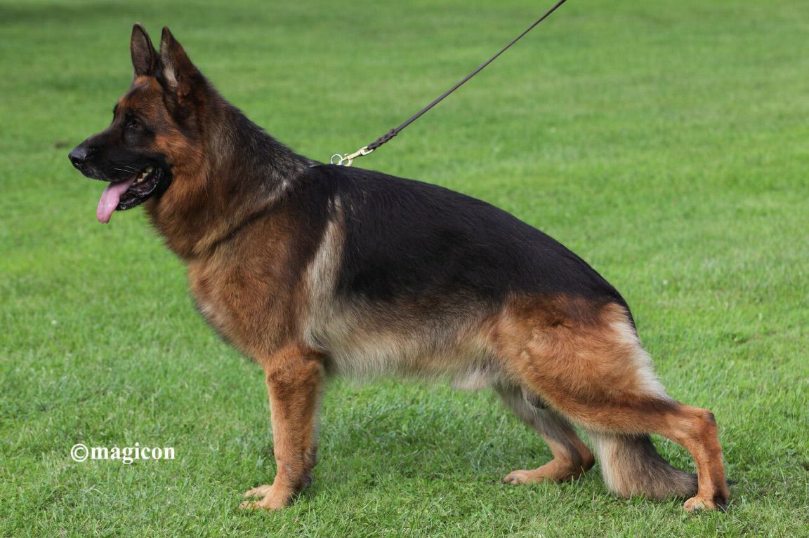 TOMBO - German Shepherds Kennel
